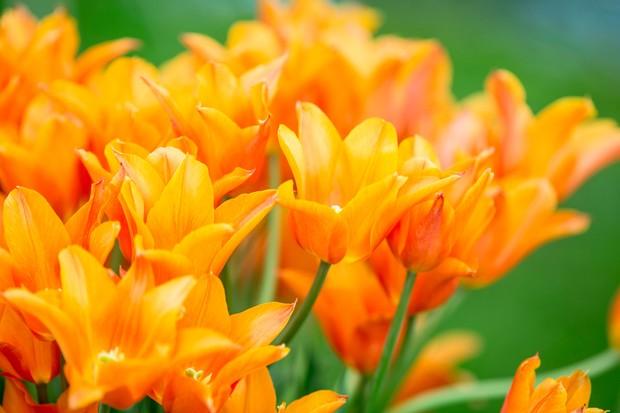tulipa-ballerina-2
