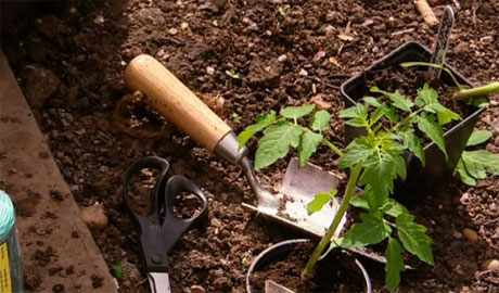 How to grow tomatoes outside