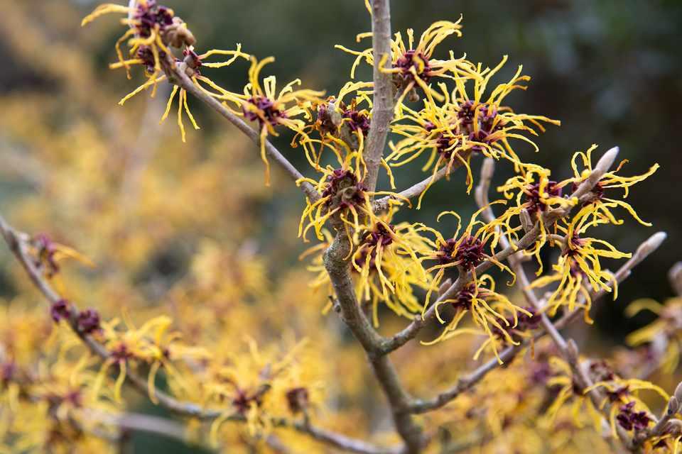 Yellow, spidery flowers of witch hazel Hamamelis 'Aphrodite'