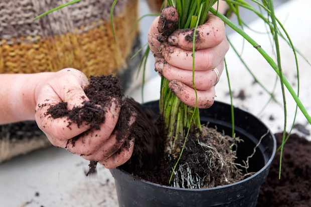 re-potting-chives-2