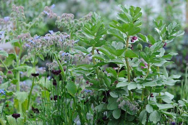 Blue-flowering borage growing beside broad beans