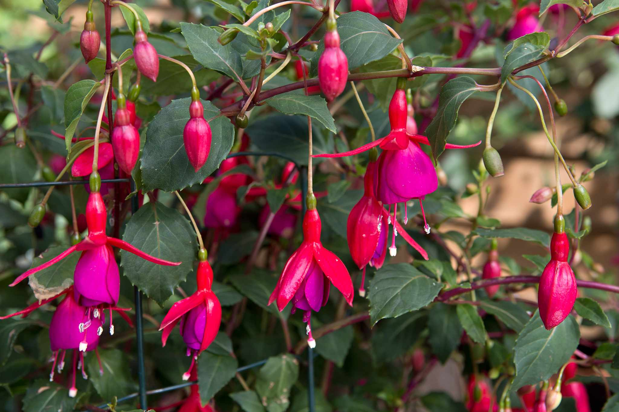 How to pinch out fuchsias