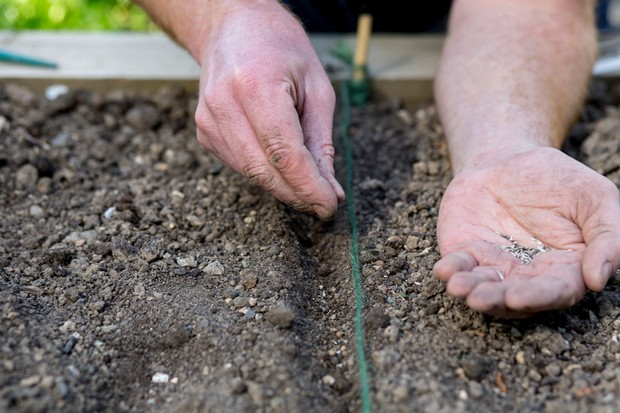 Sowing salad leaf seeds in a row marked by string
