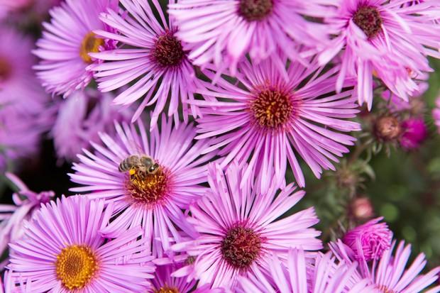Michaelmas daisy, Symphyotrichum novae-angliae 'Mrs S.T. Wright'