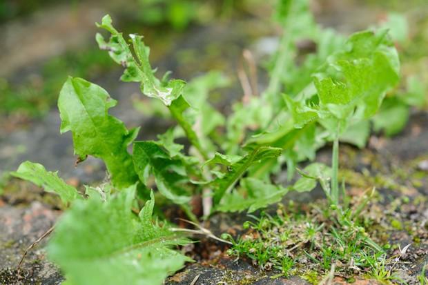 A dandelion growing between paving slabs