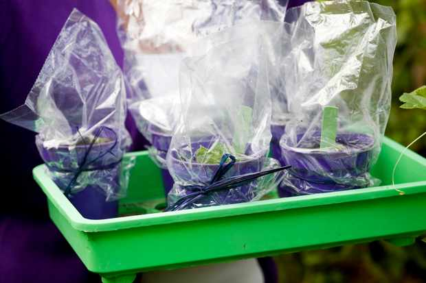 How to take streptocarpus leaf cuttings