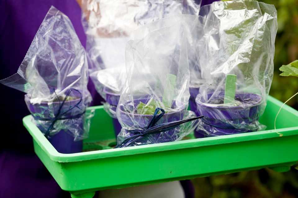 How to take streptocarpus leaf cuttings