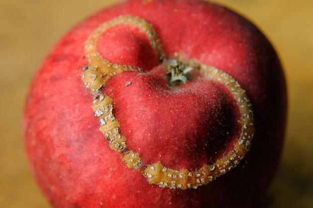 apple-sawfly-damage-2