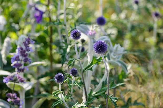 Vivid-blue spiky-globe flowers of Echinops 'Veitch's Blue'
