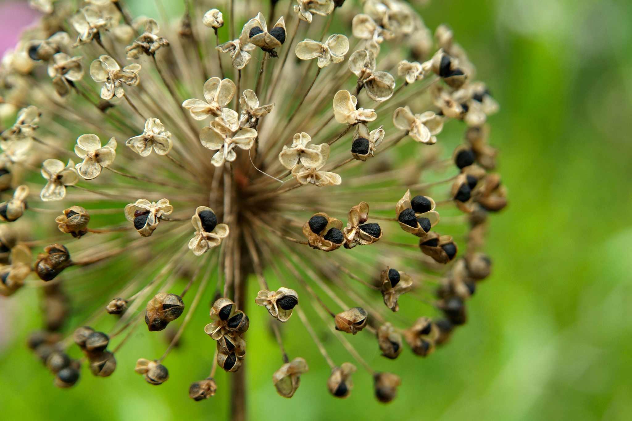 Collect Allium Seeds