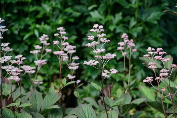 rodgersia-pinnata