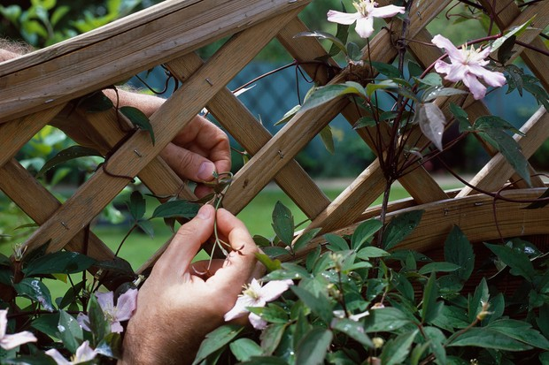 Tying in clematis