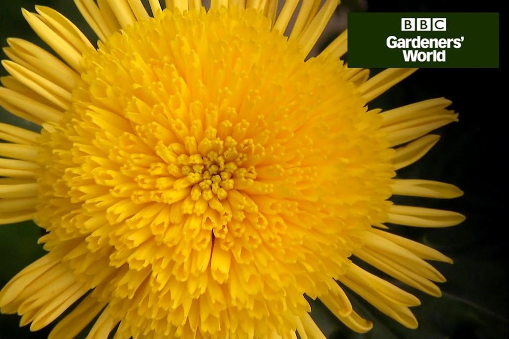 How to grow chrysanthemums