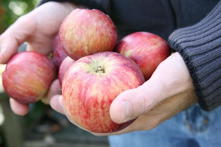 Should I compost fallen apples?