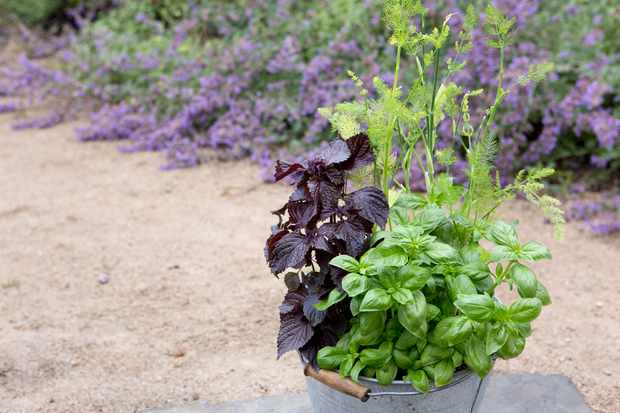Basil, fennel and shiso container