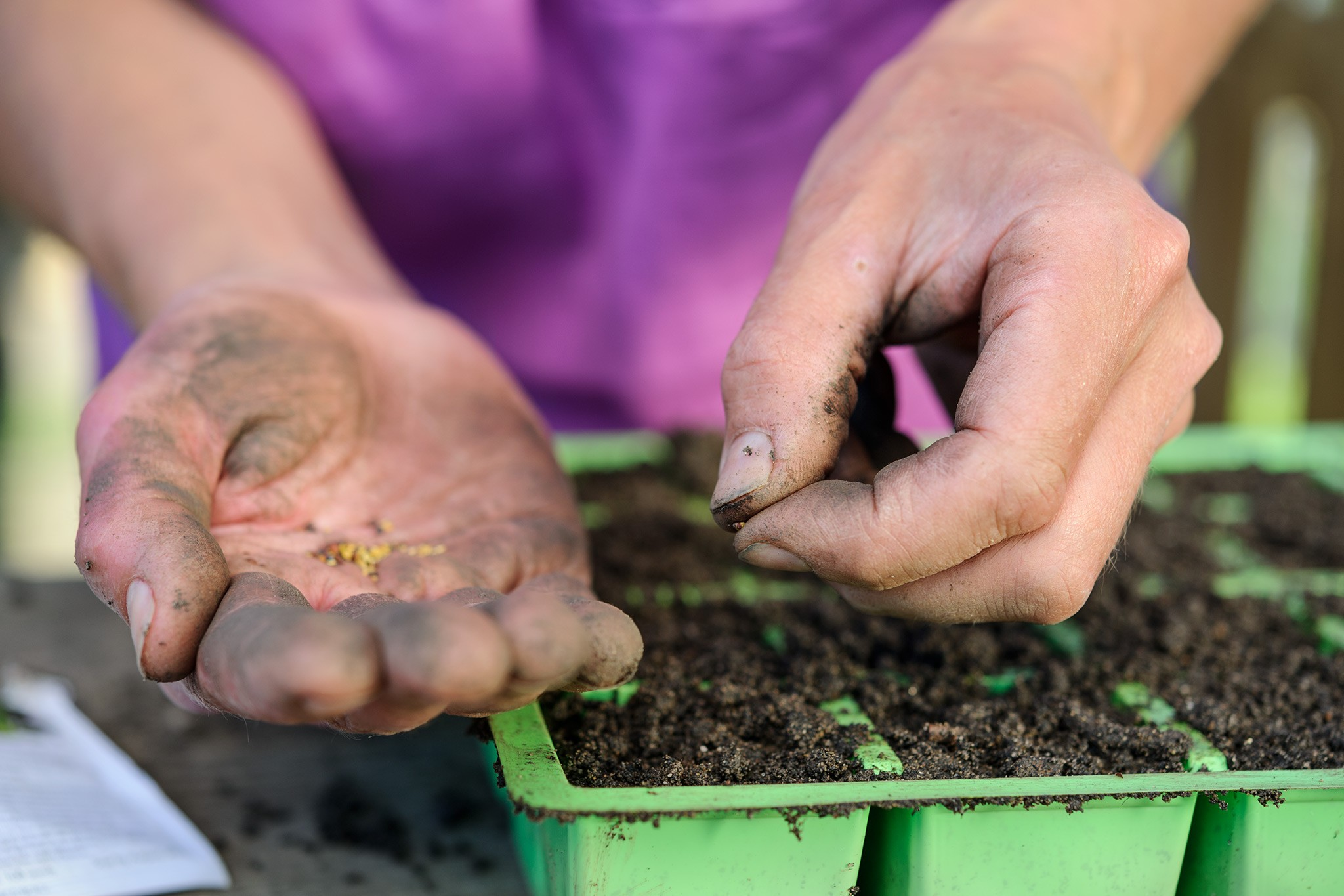 Sowing cabbage seeds in modules