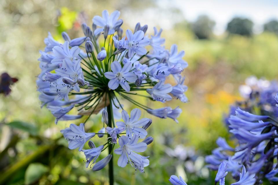 How To Grow Agapanthus Bbc Gardeners World Magazine