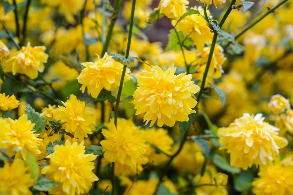 Masses of yellow flowers of Kerria japonica 'Pleniflora'
