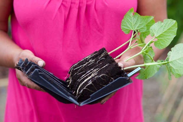 Runner bean plants with roots exposed