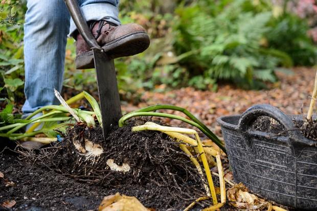 Dividing hostas in autumn with a garden spade