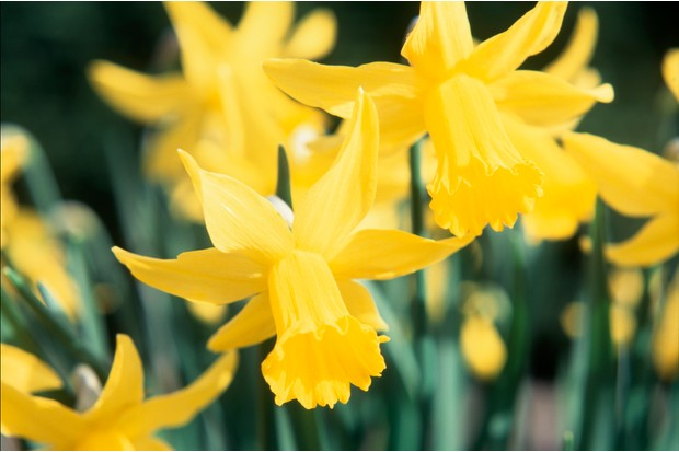 narcissus-february-gold-2