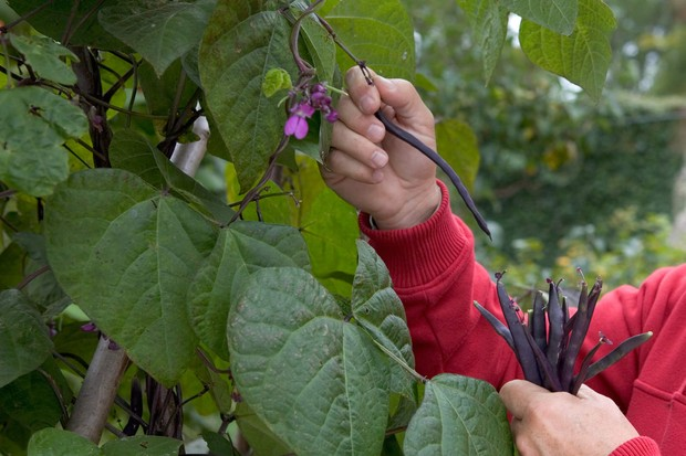 Picking purple French beans