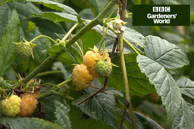 How to grow autumn raspberries