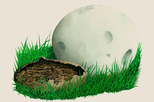 calvatia-gigantea-3