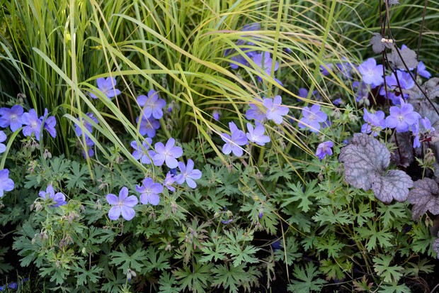 Mauve hardy geranium 'Johnson's Blue' planted beside a pale grass