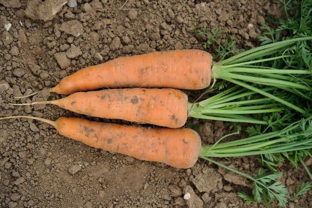 Freshly-dug carrots