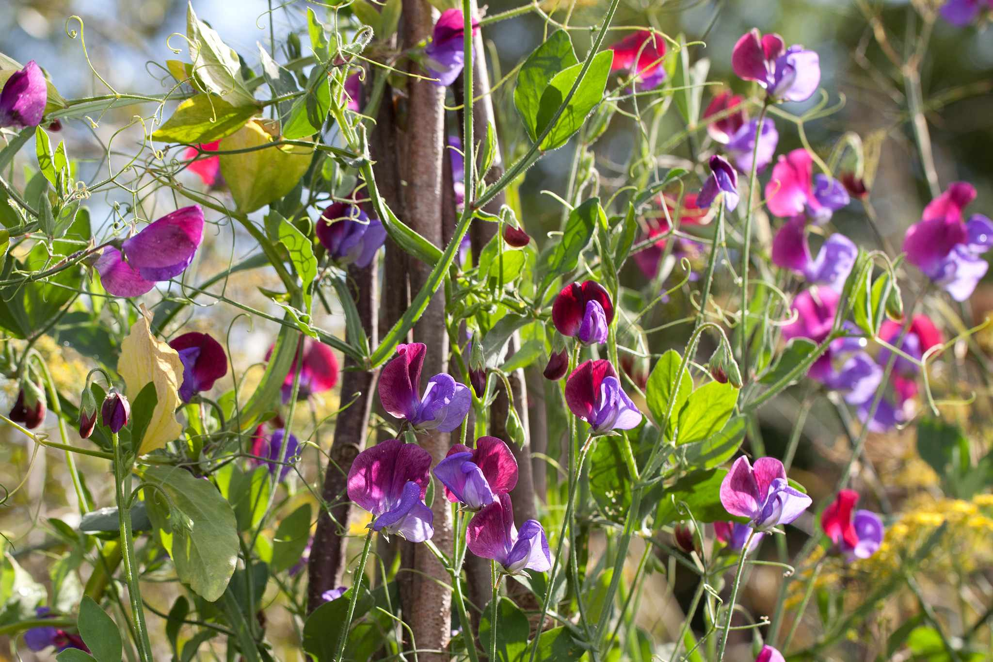 Grow Sweet Peas in Pots from Plugs