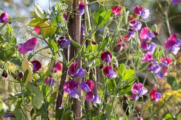 Grow Sweet Peas in Pots from Plugs
