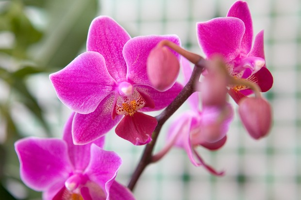 A pink moth orchid