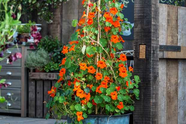 Nasturtiums growing up a support
