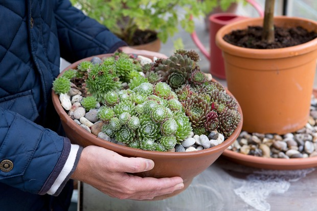 A wide, flat terracotta planter of sempervivums