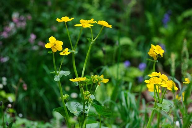 marsh-marigold-caltha-palustris-2