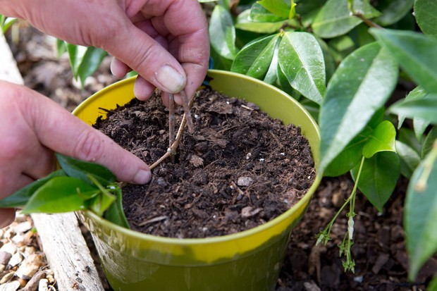 star-jasmine-trachelospermum-jasminoides-11