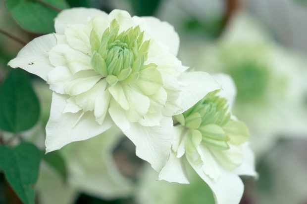 clematis-florida-alba-plena-2