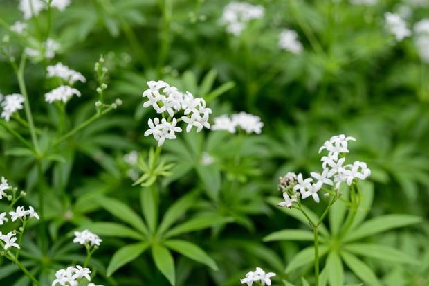 sweet-woodruff-galium-odoratum-3
