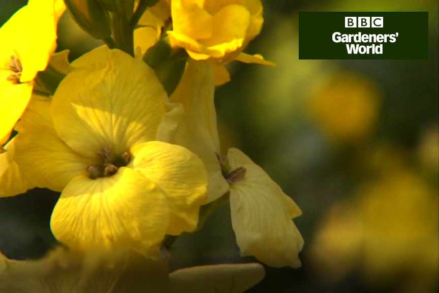 How to grow wallflowers from seed video