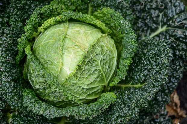 cabbage-with-holey-leaves-3
