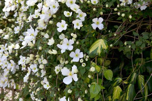 clematis-montana-and-persian-ivy-2