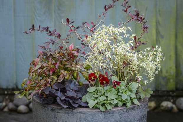 Nandina, heuchera and berberis pot display