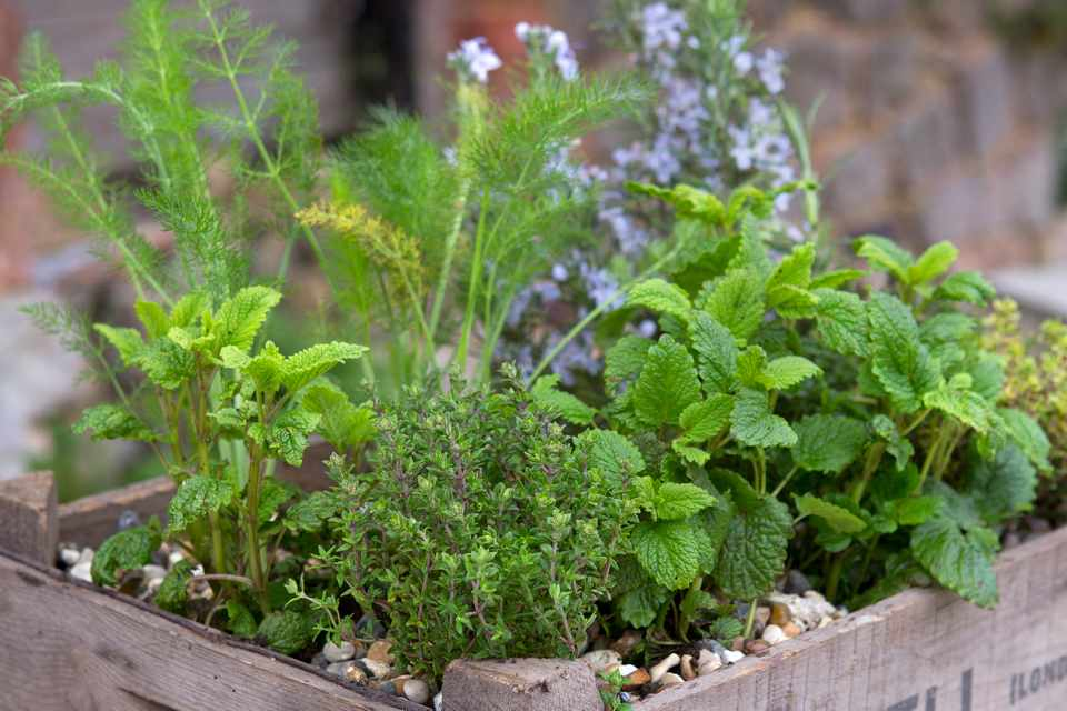 Culinary herbs container display