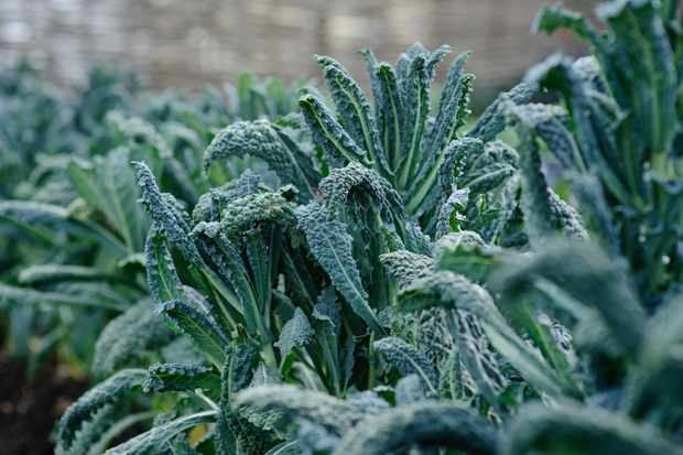 Kale – Grow Guide
