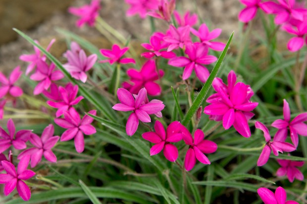 Bright pink blooms of Rhodohypoxis baurii