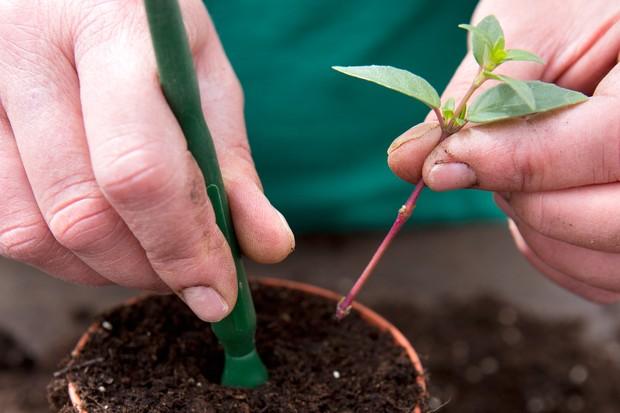taking-fuchsia-cuttings-2