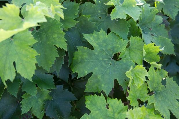 Large leaves of a grape vine