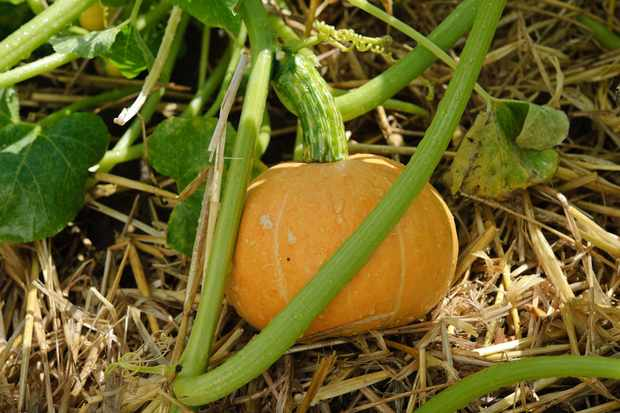 ripening-a-pumpkin-2