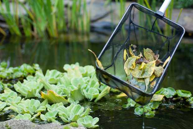 scooping-autumn-leaves-from-a-pond-using-a-net-2